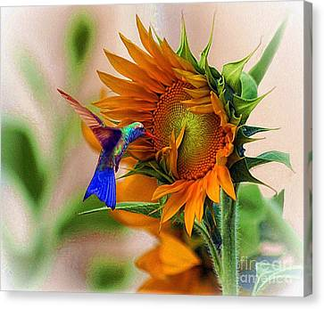 Hummingbird On Sunflower Canvas Print by John  Kolenberg