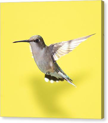 Hummingbird On Yellow 1 Canvas Print