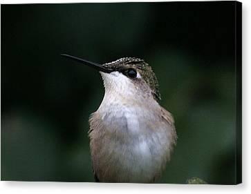 Hummingbird Portrait Canvas Print by Alan Skonieczny
