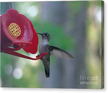 Canvas Print featuring the photograph Hummingbird  by Rand Herron