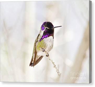 Hummingbird Canvas Print by Rebecca Margraf
