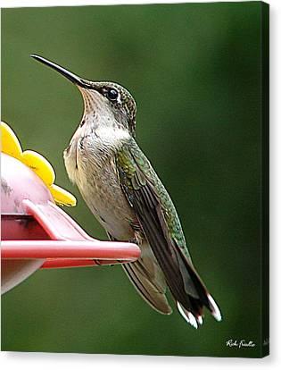 Hummingbird Canvas Print by Rick Friedle