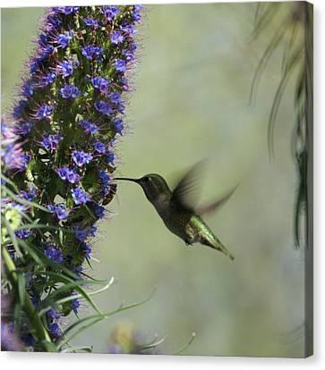 Hummingbird Sharing Canvas Print by Ernie Echols
