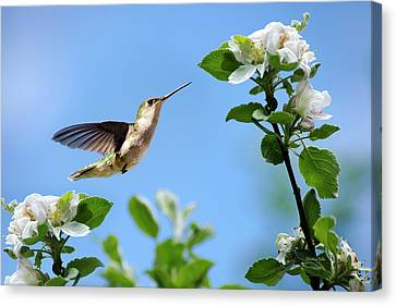 Hummingbird Springtime Canvas Print