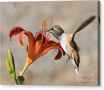 Hummingbird Whisper  Canvas Print by Carol Groenen