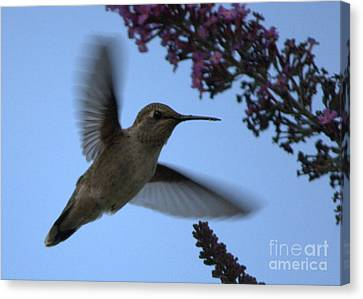 Hummingbird Wings And Butterfly Bush Canvas Print by Carol Groenen