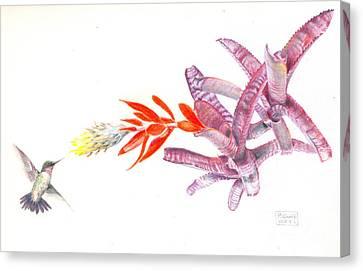 Hummingbird With Bromeliad Canvas Print