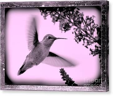 Hummingbird With Old-fashioned Frame 2  Canvas Print by Carol Groenen