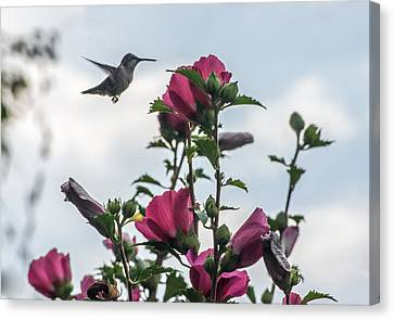 Hummingbird With Rose Of Sharon Canvas Print by Photographic Arts And Design Studio