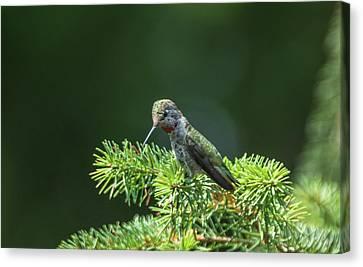Resting Hummingbird Canvas Print