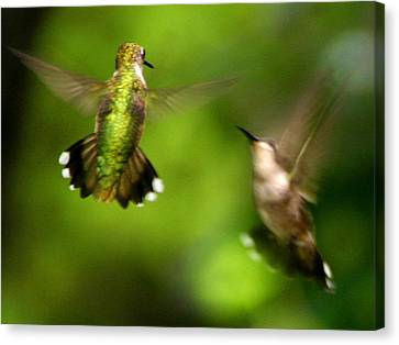 Hummingbirds - Fighting Canvas Print by Fred Baird
