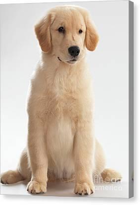 Humorous Photo Of Golden Retriever Puppy Canvas Print by Oleksiy Maksymenko
