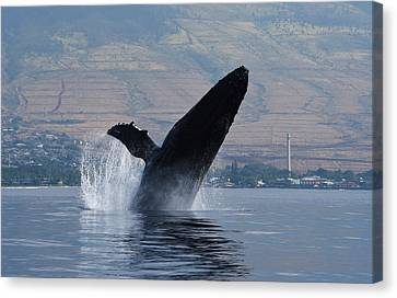 Humpback Whale Breach Canvas Print by Jennifer Ancker