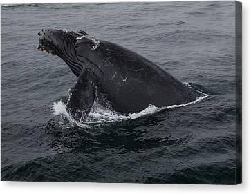 Humpback Whale Breach Canvas Print by Tory Kallman