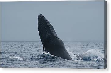 Canvas Print featuring the photograph Humpback Whale Breaching by Gary Crockett