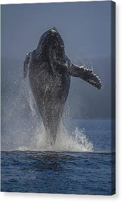Whalers Cove Canvas Print - Humpback Whale Breaching In Chatham Strait by Wild Montana Images