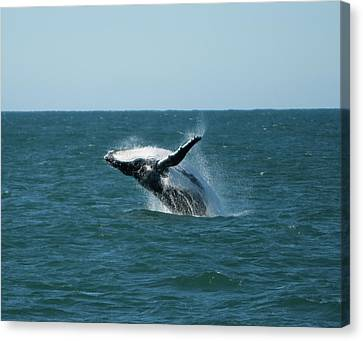 Humpback Whale Breaching Canvas Print by Peter K Leung