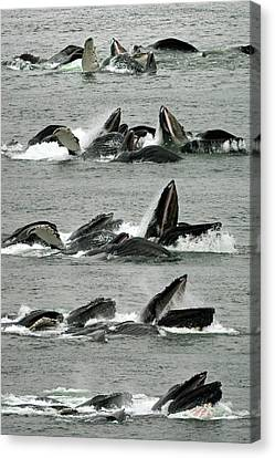 Humpback Whale Bubble-net Feeding Sequence X5 V1 Canvas Print
