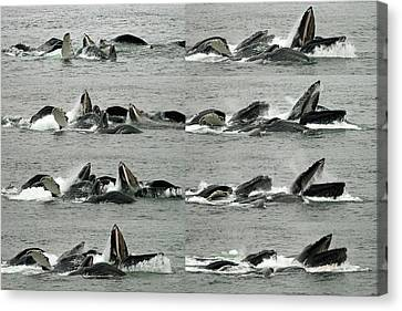 Humpback Whale Bubble-net Feeding Sequence X8 Canvas Print