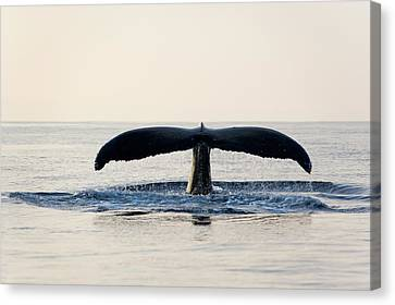 Humpback Whale Fluke Canvas Print by M Sweet