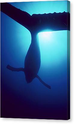 Humpback Whale Megaptera Novaeangliae Canvas Print by Flip Nicklin
