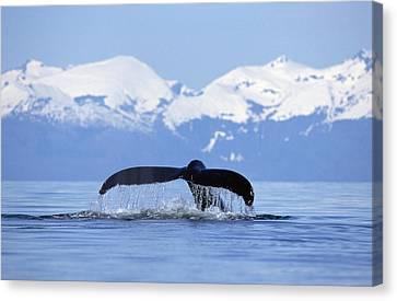 Humpback Whale Megaptera Novaeangliae Canvas Print by Konrad Wothe