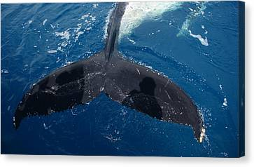 Canvas Print featuring the photograph Humpback Whale Tail With Human Shadows by Gary Crockett