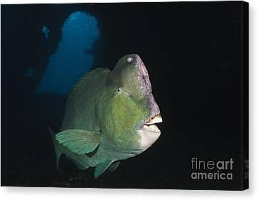 Humphead Parrotfish Canvas Print by Reinhard Dirscherl