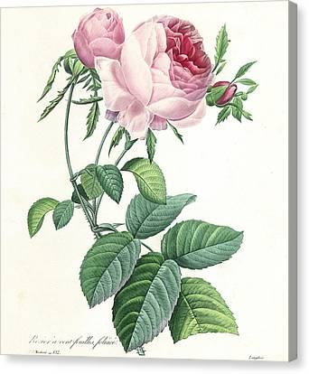 Hundred-leaved Rose Canvas Print by Pierre Joseph Redoute