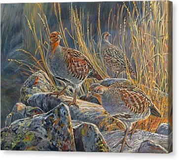 Hungarian Partridges Canvas Print by Steve Spencer