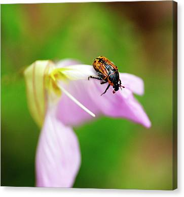 Hungry Beetle Canvas Print by Bill Morgenstern
