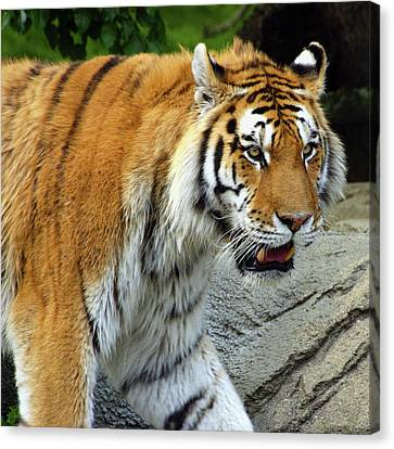 Hungry Cat Canvas Print by Gordon Dean II