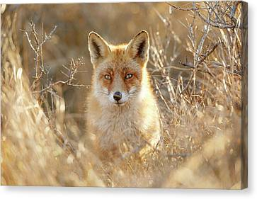 Hungry Eyes - Red Fox In The Bushes Canvas Print by Roeselien Raimond