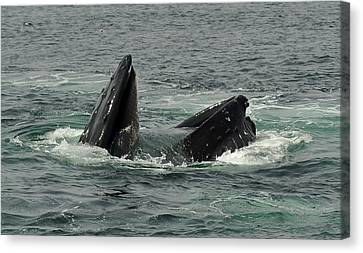 Hungry Humpback Canvas Print