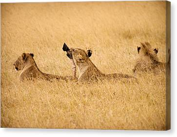 Hungry Lions Canvas Print by Adam Romanowicz
