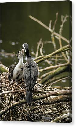 Hungry Pied Shag Chicks Canvas Print by Racheal Christian