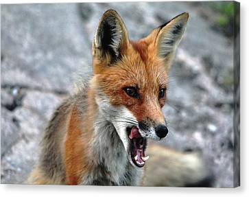 Canvas Print featuring the photograph Hungry Red Fox Portrait by Debbie Oppermann