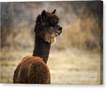 hunter alpaca herd sire painting by janice rae pariza. Black Bedroom Furniture Sets. Home Design Ideas