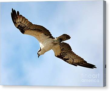 Hunter Osprey Canvas Print by Carol Groenen