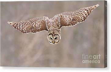 Hunting Barred Owl  Canvas Print by Mircea Costina Photography