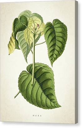 Hura Botanical Print Canvas Print