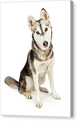 Husky Canvas Print - Husky Crossbreed Dog With Attentive Expression by Susan Schmitz