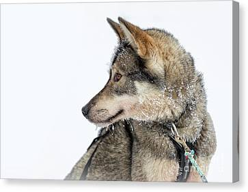 Husky Dog Canvas Print by Delphimages Photo Creations