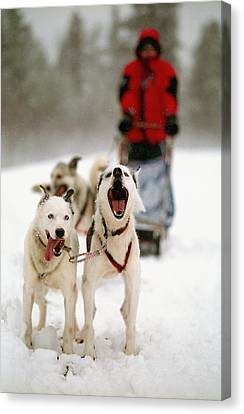 Husky Dog Racing Canvas Print by Axiom Photographic