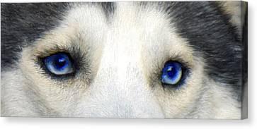 Husky Eyes Canvas Print