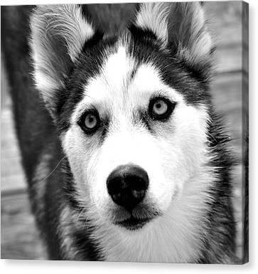 Husky Pup Canvas Print by Sumit Mehndiratta