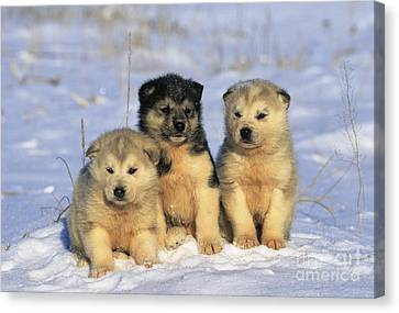 Husky Puppies Canvas Print by Jean-Louis Klein & Marie-Luce Hubert