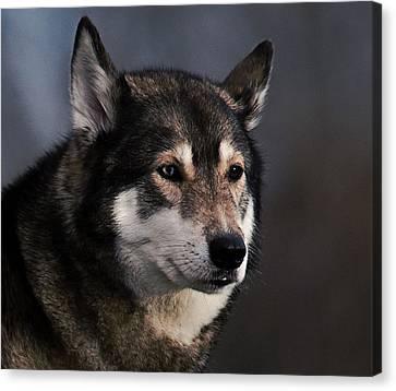 Husky Canvas Print
