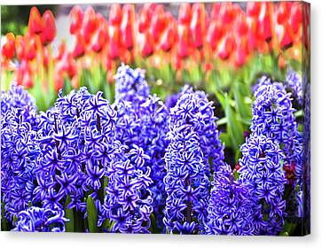 Hyacinth In Bloom Canvas Print by Tamyra Ayles