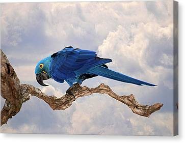 Canvas Print featuring the photograph Hyacinth Macaw by Wade Aiken